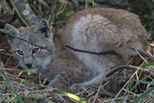 East Siberian lynx cub. Photo: Ludmila Anisimova