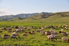 Овцы на предгорных пастбищах Большого Кавказа