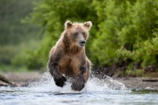 The Kamchatka bear. Photo: Dmitry Shpilenok