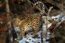 "Nikolay Zinoviev, ""Land of the Leopard"""