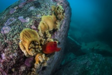 Anemones and sea squirts