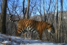 Амурский тигр. Снимок фотоловушки ФГБУ ''Земля леопарда''