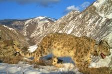 Ирбис Монгол. Снимок с фоторегистратора Саяно-Шушенского заповедника