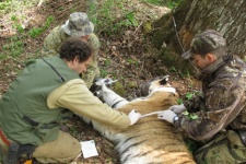 Taking the key measurements  with  young male Siberian tiger