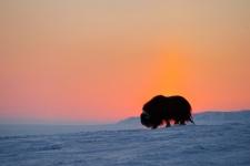 Овцебык острова Врангеля. Фото: Сергей Горшков