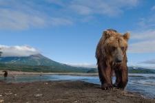 Бурый медведь в Кроноцком заповеднике. Фото: Сергей Горшков