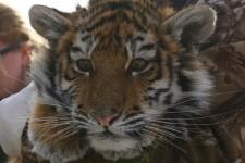 Тигрица, спасённая 29 декабря 2015 года. Фото: ПРОО ''Центр''Тигр''