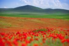 Маковые поля. Фото: Антон Агарков
