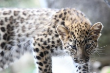 """Леопард, проживающий вблизи маршрута пробега. Фото предоставлено Национальным парком """"Земля леопарда"""""""