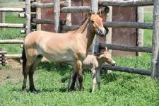 Новорожденный жеребенок лошади Пржевальского с матерью, кобылой Сашкой. Фото предоставлено Институтом степи УрО РАН