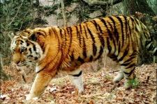 Амурский тигр. Фото предоставлено ФГБУ ''Земля леопарда'