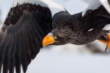 """Экспедиция """"Полюс холода соединяет океаны"""" обнаружила гнездовья белоплечего орлана. Фото: Сергей Горшков"""