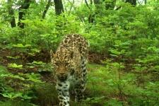 Альба (Leo 56F). Фото предоставлено ФГБУ ''Земля леопарда''