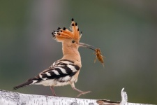A hoopoe. Photo courtesy of the organizers of «The Golden Turtle» festival