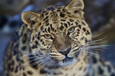 Дальневосточный леопард. Фото предоставлено ФГБУ «Земля леопарда»