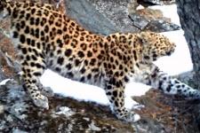 Фото предоставлено ФГБУ «Земля леопарда»