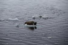 Моржиха с детёнышем на льдине около острова Джексона (Земля Франца-Иосифа). Фото Ю. Петрова
