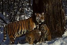 Тигриное семейство. Кадр с фотоловушки