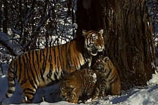 The tigers` family. A cadre of the camera trap