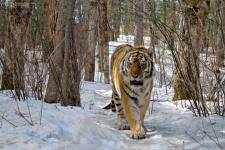 Фото: С. Сутырина, с сайта Сихотэ-Алинского заповедника
