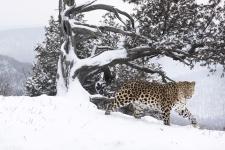 Русский леопард. Фото: Николай Зиновьев