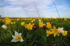 Тюльпанное многоцветие Куриловской степи