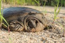 Портрет черепахи