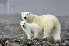 Белые медведи на острове Гукера. Фото: М. Иванов