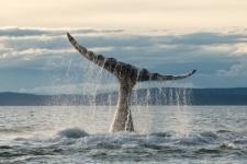 A rare bowhead whales of the Okhotsk Sea population. Photo by Olga Shpak