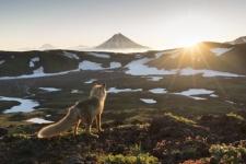 Wise fox meets the dawn. Photo by: Alexander Zus'