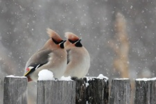 "Waxwing birds have come back. Photo by: Tatyana Belyaeva. Second prize in the category: ""Animal life of the Leningrad region""."