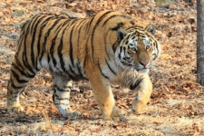 "Photo by: Svetlana Sutyrina. Provided by the Center ""Amur tiger"""