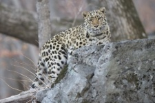 "Photo by: Valery Maleev. Provided by the  ""Far Eastern Leopard"" organization"