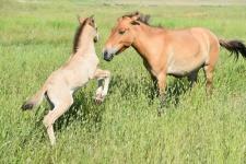 В мае 2016 года в Степном стационаре Института степи родился первый в Оренбургской области жеребёнок лошади Пржевальского. Фото предоставлено Оренбургским региональным отделением РГО