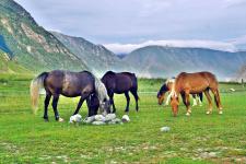 Лошади у реки Чулышман