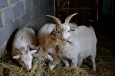 Оренбургские пуховые козы на степном стационаре. Фото Сергея Левыкина
