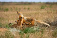 Степные лисицы. Республика Калмыкия. Фото: Ростислав Машин