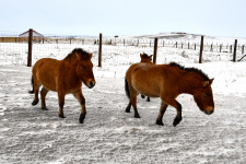 Лошади Пржевальского на прогулке