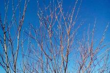 В мороз под -40 градусов в селе Хошун-Узур распустилась верба