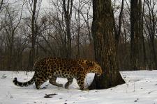 """Фото с сайта ФГБУ """"Земля леопарда"""" leopard-land.ru"""
