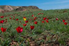 Аленький цветочек степи