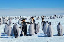 Императорские пингвины в Антарктиде. Фото: wikipedia.org