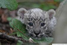 Фото предоставлено Центром восстановления леопардов на Кавказе