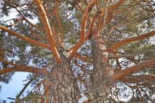 Старовозрастные сосны Бузулукского бора. Фото: П. Вельмовский