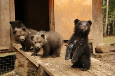 Фото предоставлено Центром спасения медвежат