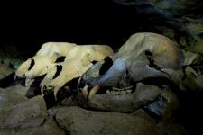 Черепа пещерных медведей. Фото: Евгений Цурихин