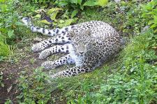 Фото: Центр восстановления леопарда на Кавказе