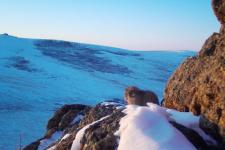 Манул. Фото со страницы Живая степь - Living Steppe facebook.com/LivingSteppe
