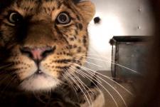 """Кадр из видео со страницы ФГБУ """"Земля леопарда"""" facebook.com/amurleo"""