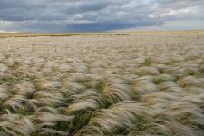 Ковыльная степь Зауралья. Оренбургская область. Фото: Чибилёв А.А.